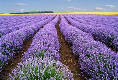 欧式宫廷花园图片紫色